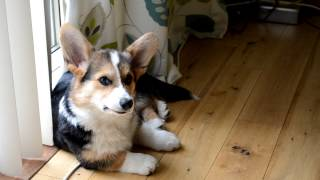 Pembroke Welsh Corgi Puppy Dexter Chasing His Tail