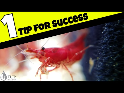 How To Breed Freshwater Shrimp - The Most Important Factor