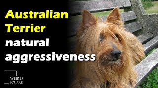 The Australian Terrier is spirited, alert, courageous, and selfconfident