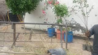 Ficus Viren's and Largerstromia Indica Plants