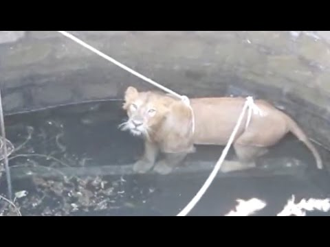 Endangered Lion Saved From Well