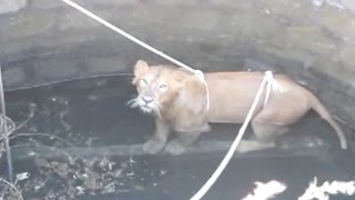 Endandered Lion Saved From Well