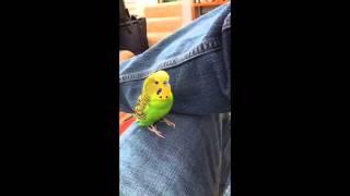 Kiwi the parakeet repeats after me