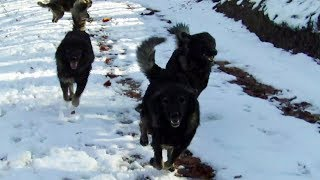 Sarplaninac FCI 4302 - Awesome Shepherd Dogs | Livestock Guardian Dogs (Part 2)