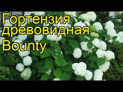 Гортензия древовидная Баунти. Краткий обзор, описание характеристик hydrangea arborescens Bounty