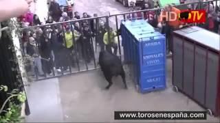 Злой бык вырвался из клетки