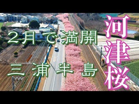 三浦の早咲き桜