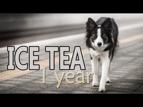 Ice Tea ⚡ Border Collie ⚡ 1 year