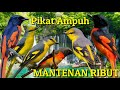 Pikat Ampuh Burung Mantenan Ribut  Mp3 - Mp4 Download