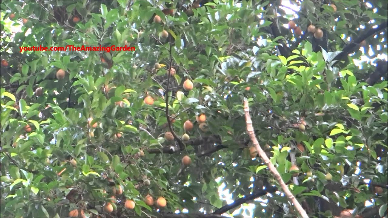 Nutmeg Tree Irrigation With Water Sprinkler Youtube