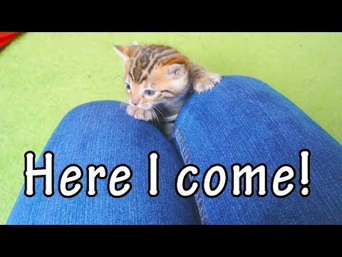 'Kittens Climbing Up Legs Compilation' || CFS