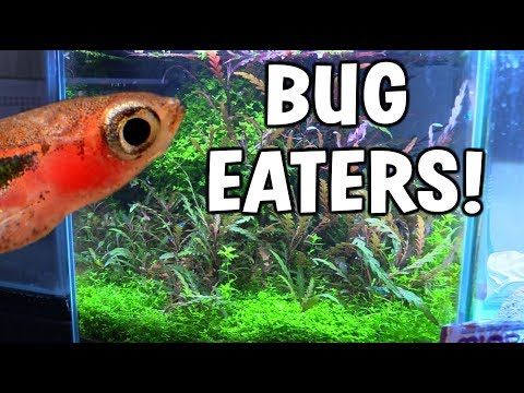 Adding *BUG EATING Fish* To Shrimp Aquarium