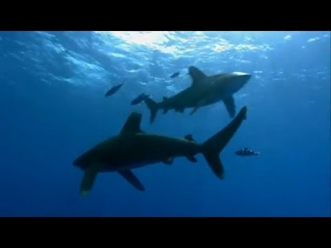Oceanic Whitetip Shark Attack - Planet Earth - BBC
