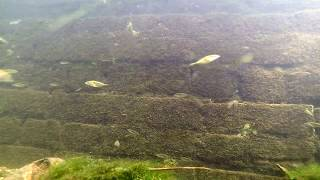 New River Underwater Fish Life UK Sticklebacks