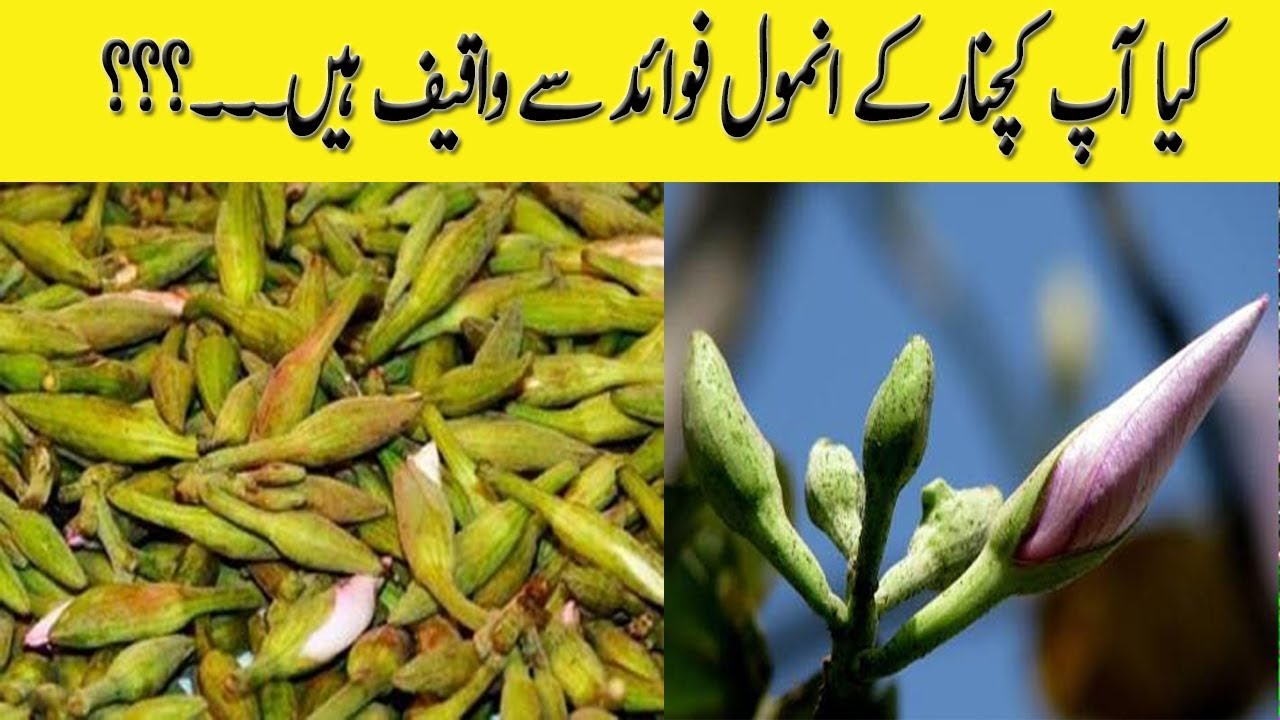 benefits of kachnar | کچنار کے فائدے homemade desi urdu totky