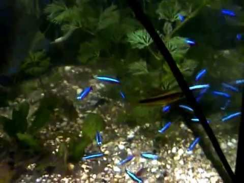 Mon Aquarium Amazonien Population Geographique Typique Pour