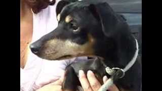 Adopt Benny: Visually Impaired Min-pin