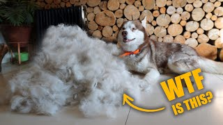 ALL THIS CAME FROM GHOSTY!!!  GROOMING MY SIBERIAN HUSKY !!!