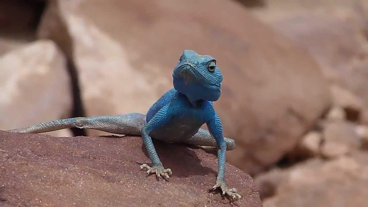 Синие ящерицы картинки