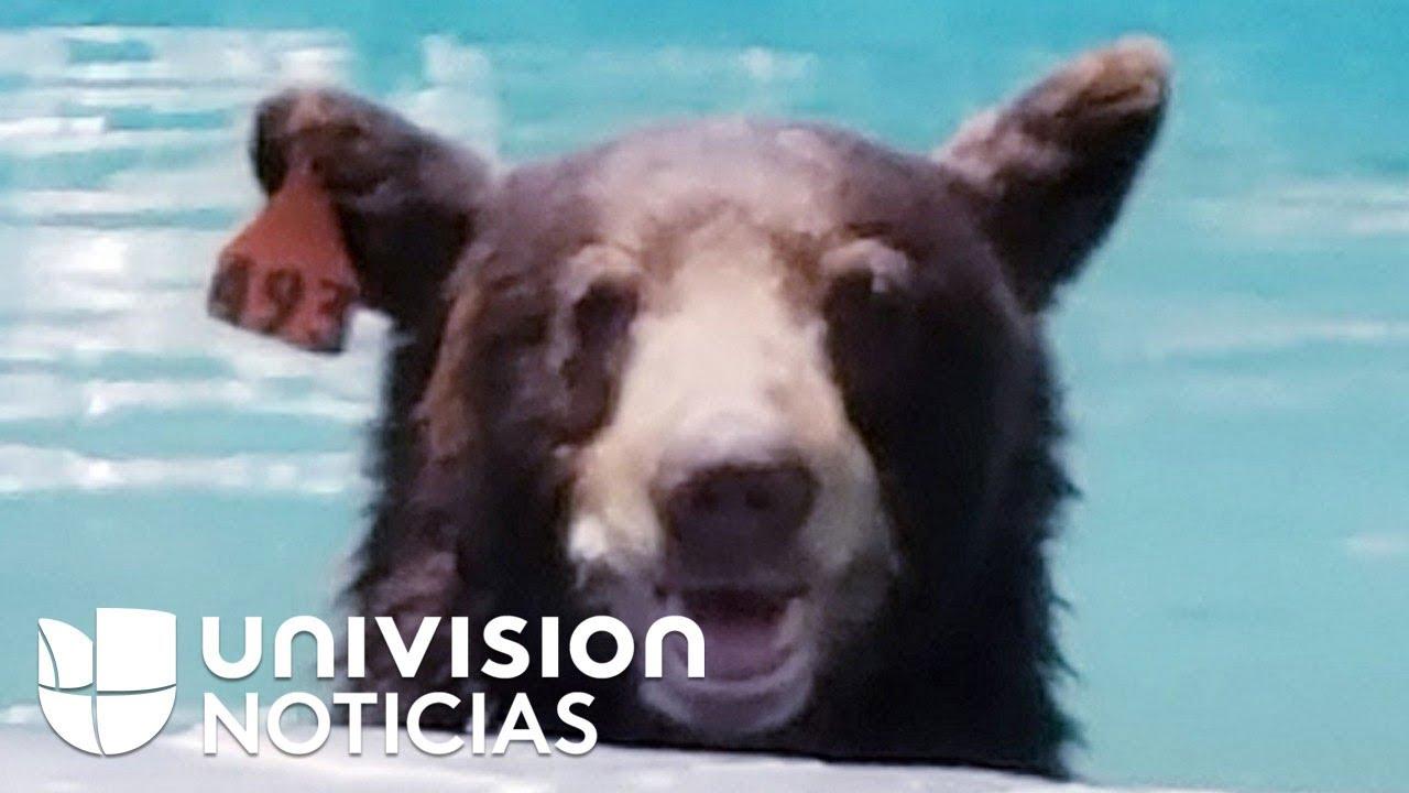 Piscina y siesta: así fue la aventura de un oso que se metió en una  casa en California