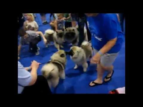 Meet the Breed: Keeshond