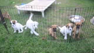 Rescue Pups - Jj Litter, Oct 7 2015.  Boxer Beagle Mix?