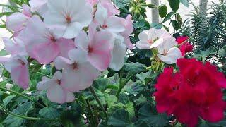 베란다 정원ㅡ제라늄 잘 키우기|풍성한 꽃보기