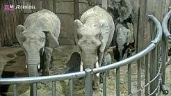 Zoo Wuppertal - Erneute Elefantengeburt im Grün Wuppertal.