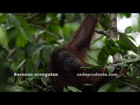 Bornean Orangutan 'bed'