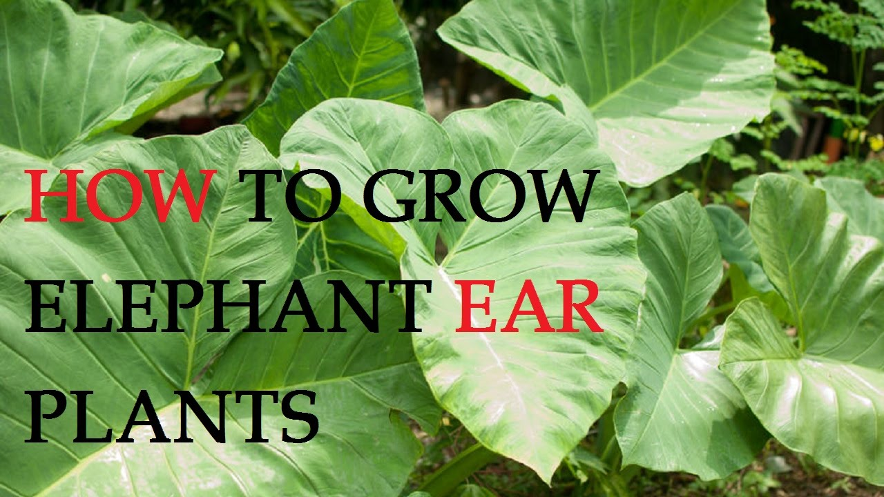 how to grow elephant ear plants youtube. Black Bedroom Furniture Sets. Home Design Ideas
