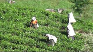 Tamil Tea Pickers & Plantations - Ella & Haputale - The Hill Country - Sri Lanka