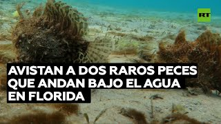 Avistan a dos raros peces que andan bajo el agua en Florida