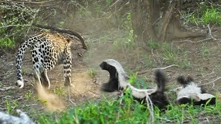 honey-badger-rescues-her-baby-from-leopard