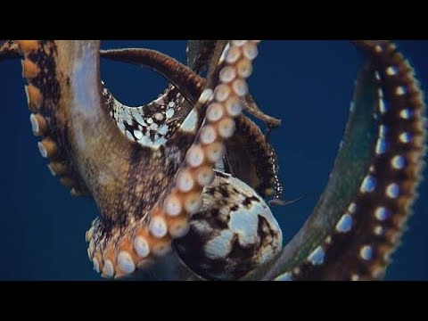 Catching Octopus(Tako) Diving For Ulua Fishing!! Hawaii Spearfishing/Hawaii Fishing 2018!