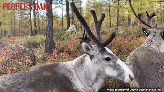 A compiled video featuring cute reindeers to remind you of the beauty of nature!