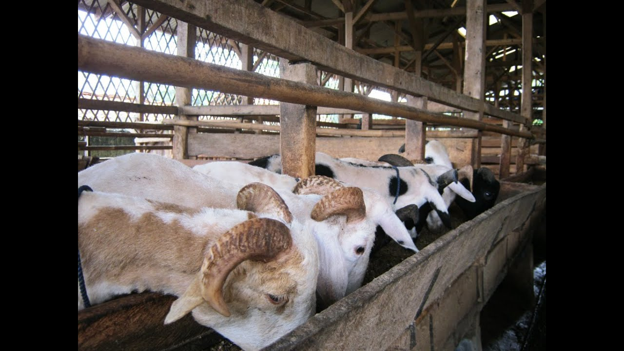 Ternak Kambing - Dosis pakan yang tepat dan vitamin ternak ...