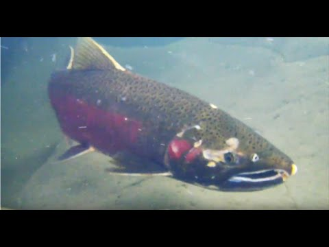 Monitoring Salmon In The Russian River
