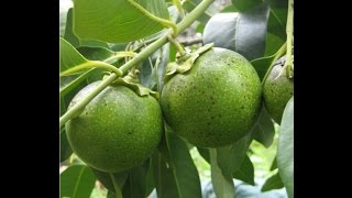 The Chocolate Pudding Fruit Tree - Black Sapote