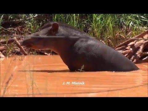 Vídeos de animais silvestres VI (Antas, araras e pato selvagem)