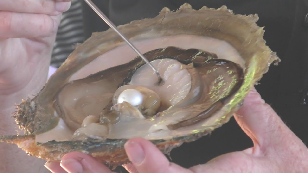 PEARL FORMATION, OYSTER ANATOMY - YouTube