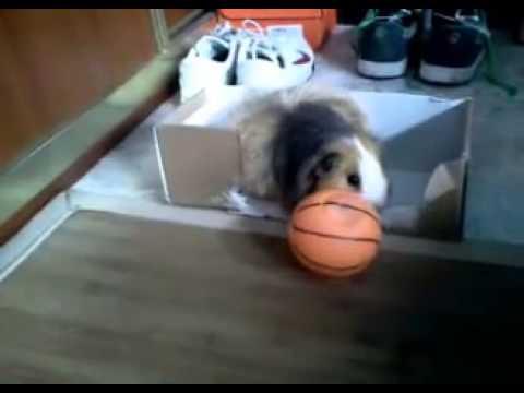 Cobaya destrozando pelota - Robosalchicha (o Yiba)