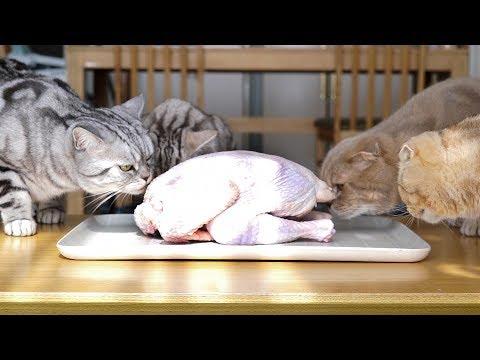 생닭 vs 삶은 닭- 고양이들 닭 먹는 날