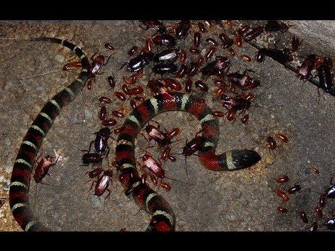 cockroach bites
