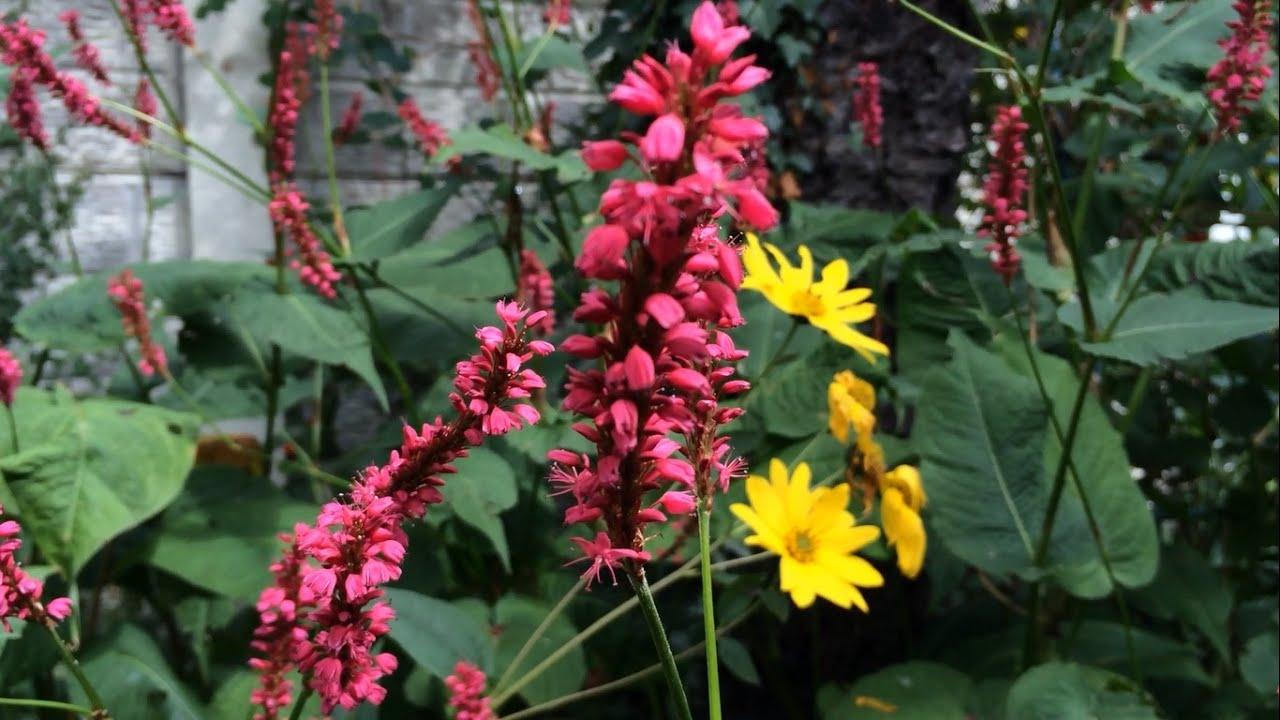 YouTube & Shade loving plant - Firetail (Persicaria amplexicaulis)
