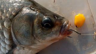 ЛОВЛЯ ЗДОРОВЕННЫХ КАРАСЕЙ НА КАРПОВУЮ СНАСТЬ! Рыбалка на карася и карпа в сентябре.