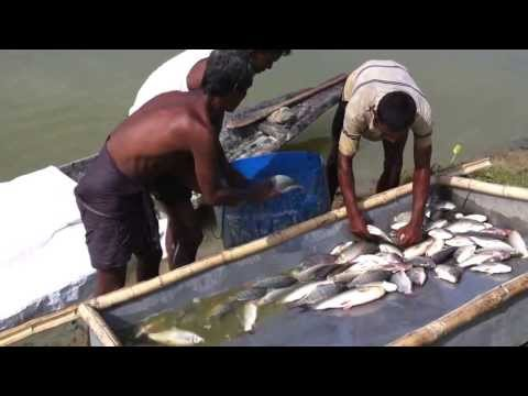 Bangladesh Fishery - Video Walkthrough of Fish Harvesting HSA-AL