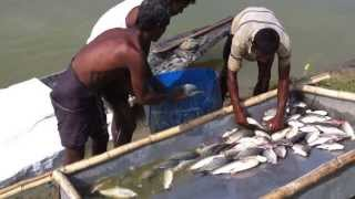 HSA-AL Fishery - Video Walkthrough of Fish Harvesting