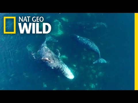 Watch These Giant Whales Visit an Ocean 'Day Spa' | Nat Geo Wild