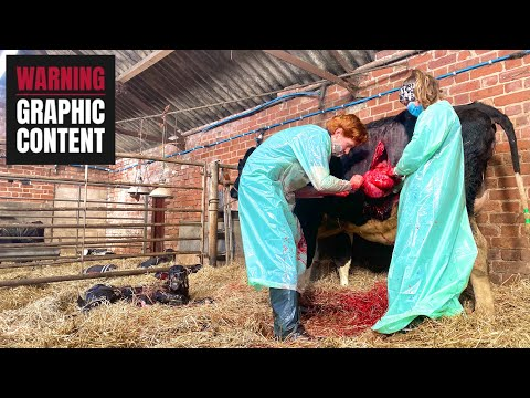 C-SECTION - HOW IT'S DONE ON A DAIRY COW
