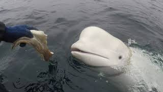 Norwegian fishermen remove harness from beluga whale